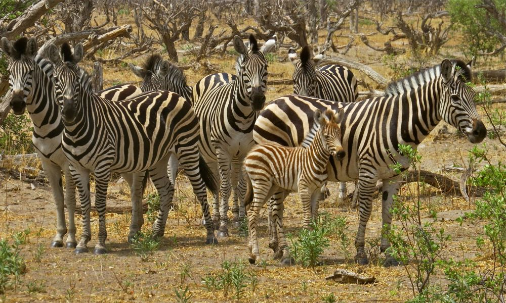 Baby zebras are often born Brown and darken as they age