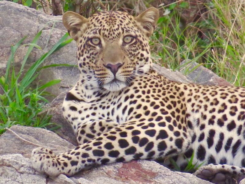 This is a season of plenty for leopards, cheetahs, lions and other predators