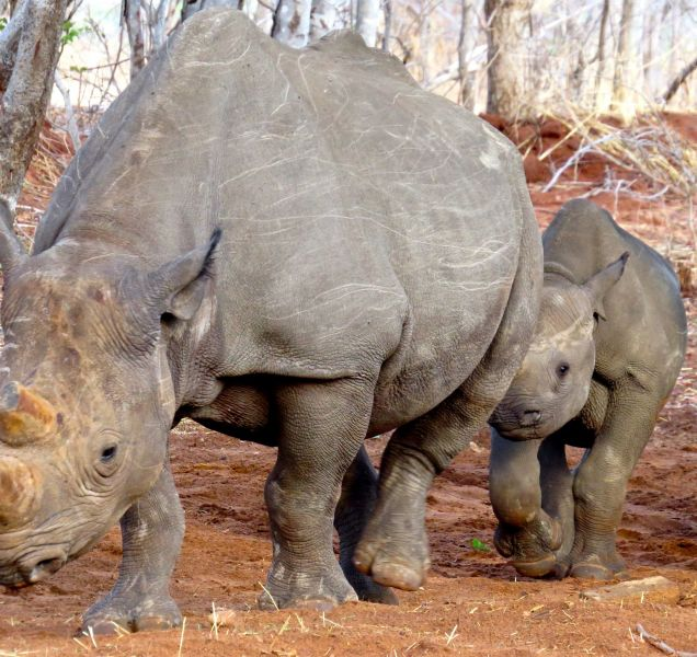 Because of poaching, rhinos are now rarely seen in this area