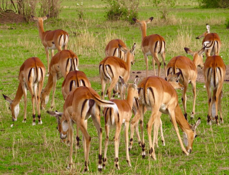 Impalas are quite common and usually the target of snares- unfortunately those snares can kill and maim many other animals