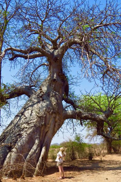 I did some sketches of baobab trees like this 1500-year-old beauty to incorporate into my work