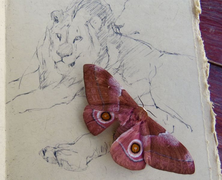 An unexpected moment of beauty when this  beautiful moth landed on my sketch book.