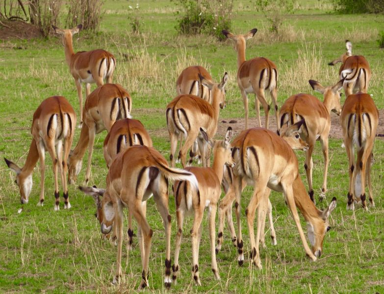 Thompson's gazelles are some of the most beautiful and graceful animals of the Serengeti