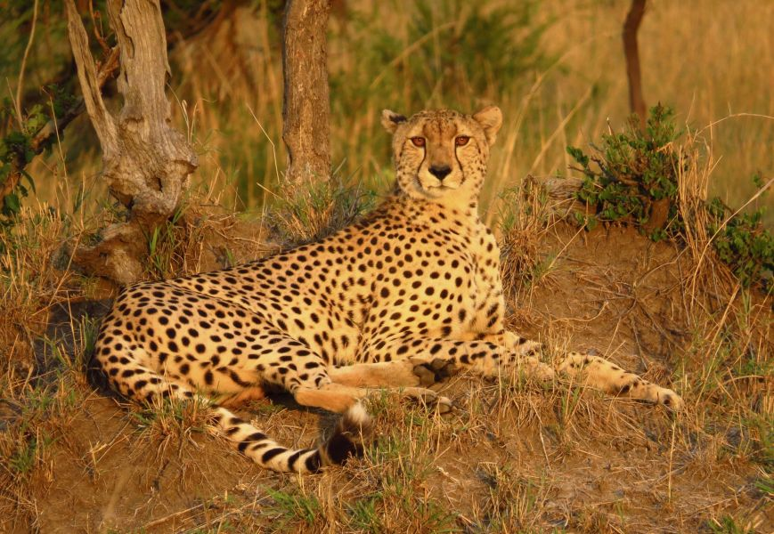 Our last day, we followed this magnificent cheetah illuminated by a golden sunset