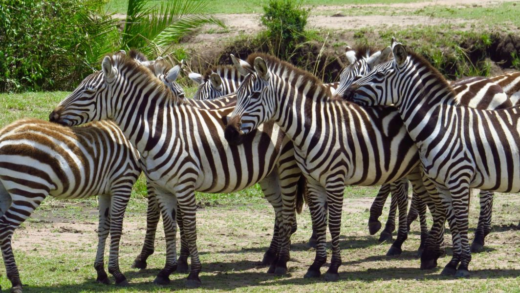 Zebras are smart, they wait until the wildebeest go across, then they dash crossed behind them