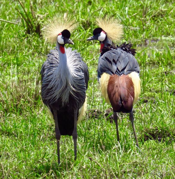 One of our favorite birds- the beautiful Crowned Crane