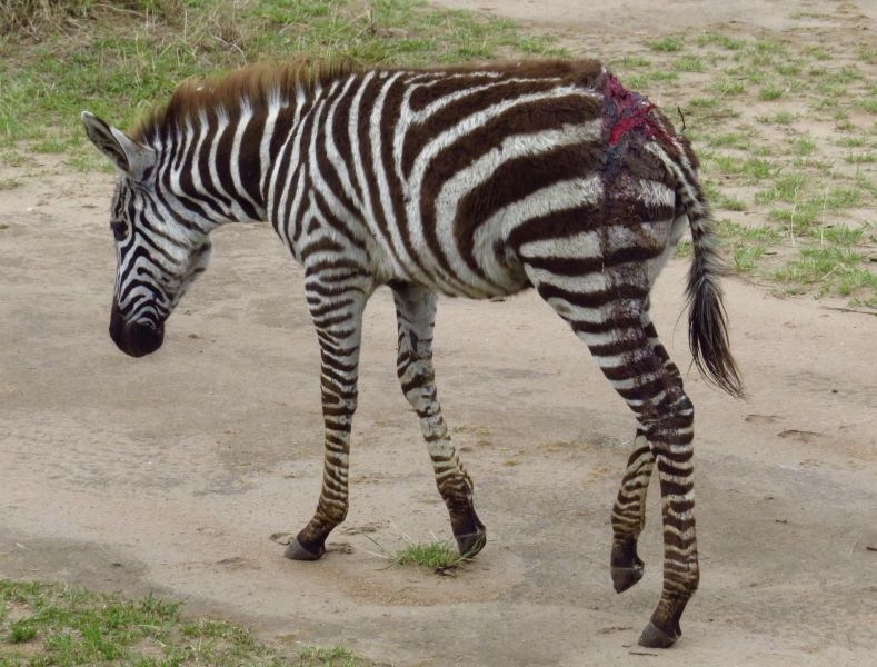 This young zebra barely escaped the jaws of a huge croc. Hopefully ,his wounds will heal.