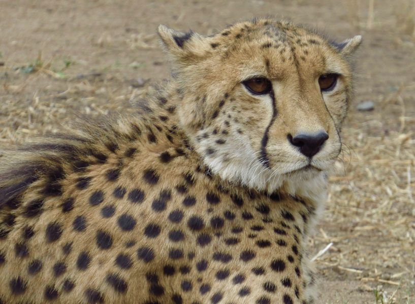 This Cheetah had been caught in a snare for five days before being rescued