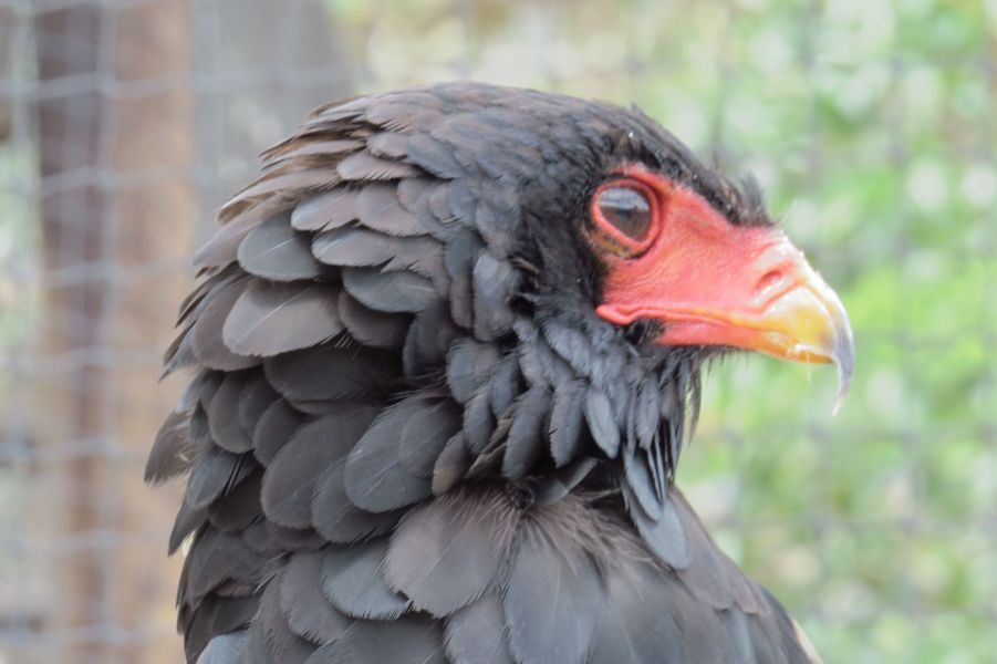 One of Africa's most beautiful raptors, the Bateleur Eagle.  Beautiful black plumage with bright orange red beak and talons