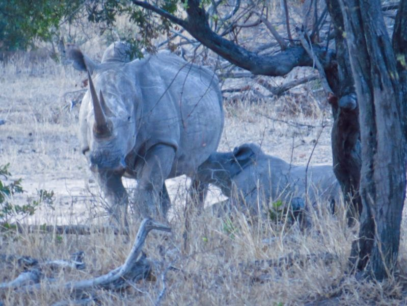 While sitting around a campfire, a white rhino and calf walked up- incredible!