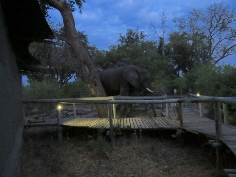 At Little Vumbura camp,Sometimes you get trapped in your tent by rogue elephant
