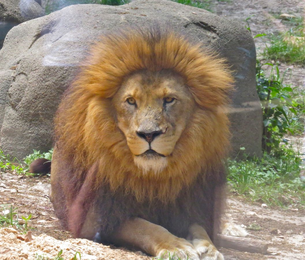 Johnathon -the dominant Male at the Zoo
